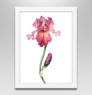 Розовый ирис - Купить плакаты